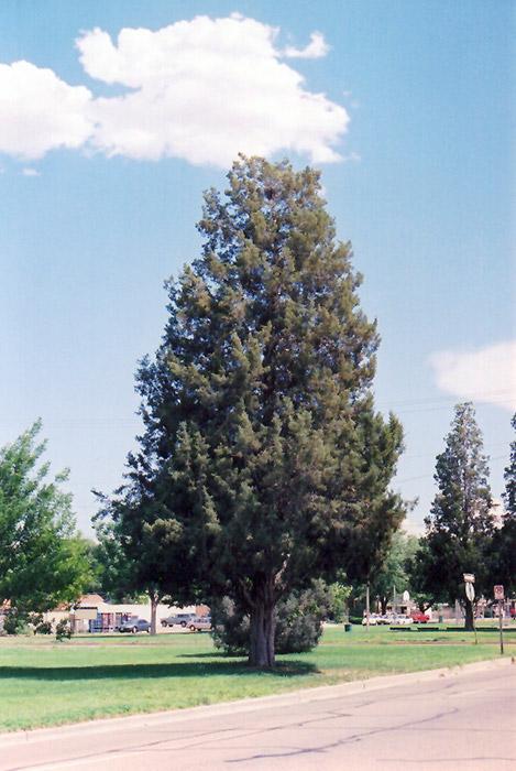 Rocky Mountain Juniper Juniperus Scopulorum In Rapid City South Dakota Sd At Jolly Lane Greenhouse