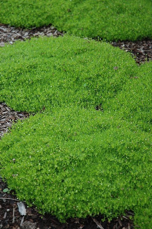 Irish Moss Sagina Subulata In Rapid City South Dakota Sd At