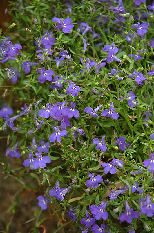 Techno Heat Blue Lobelia Lobelia Erinus Techno Heat Blue In