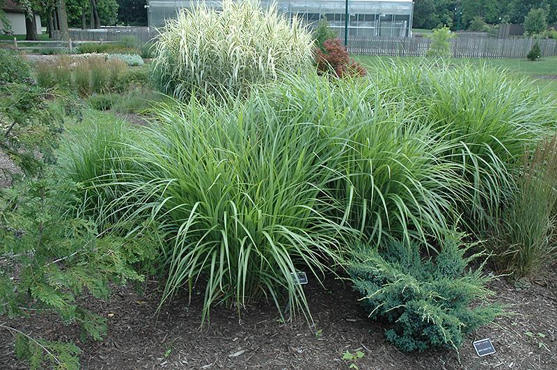 Silberfeder Maiden Grass Miscanthus Sinensis Silberfeder In