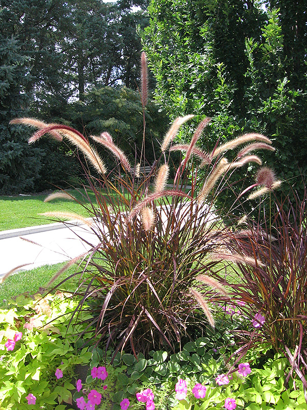 Purple Fountain Grass Pennisetum Setaceum Rubrum In Rapid City