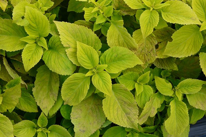 Premium Sun Lime Delight Coleus Solenostemon Scutellarioides