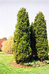 Eastern Redcedar (Juniperus virginiana) at Jolly Lane Greenhouse