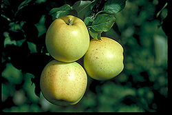 Honeygold Apple (Malus 'Honeygold') at Jolly Lane Greenhouse