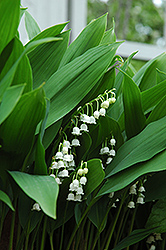 Lily-Of-The-Valley (Convallaria majalis) at Jolly Lane Greenhouse