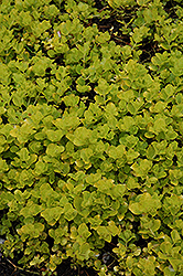 Golden Creeping Jenny (Lysimachia nummularia 'Aurea') at Jolly Lane Greenhouse
