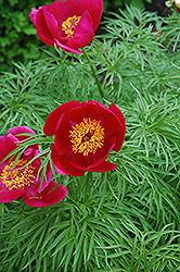 Fernleaf Peony (Paeonia tenuifolia) at Jolly Lane Greenhouse
