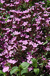 Rock Soapwort (Saponaria ocymoides) at Jolly Lane Greenhouse