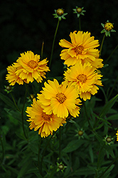 Early Sunrise Tickseed (Coreopsis 'Early Sunrise') at Jolly Lane Greenhouse