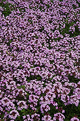 Red Creeping Thyme (Thymus praecox 'Coccineus') at Jolly Lane Greenhouse