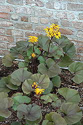 Britt Marie Crawford Rayflower (Ligularia dentata 'Britt Marie Crawford') at Jolly Lane Greenhouse