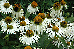 White Swan Coneflower (Echinacea purpurea 'White Swan') at Jolly Lane Greenhouse