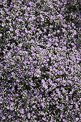 Sea Lavender (Limonium latifolium) at Jolly Lane Greenhouse