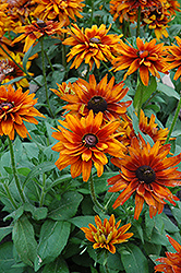 Cherokee Sunset Coneflower (Rudbeckia hirta 'Cherokee Sunset') at Jolly Lane Greenhouse