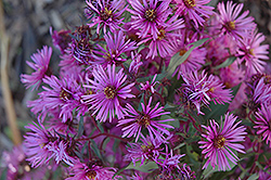 Woods Pink Aster (Aster 'Woods Pink') at Jolly Lane Greenhouse