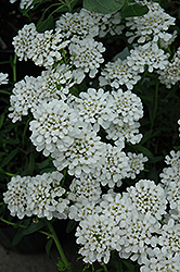 Alexander White Candytuft (Iberis sempervirens 'Alexander White') at Jolly Lane Greenhouse