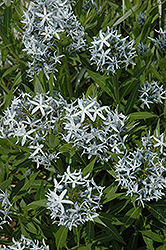 Blue Star Flower (Amsonia tabernaemontana) at Jolly Lane Greenhouse