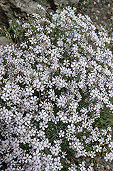 Creeping Baby's Breath (Gypsophila repens) at Jolly Lane Greenhouse