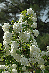 Snowball Viburnum (Viburnum opulus 'Roseum') at Jolly Lane Greenhouse