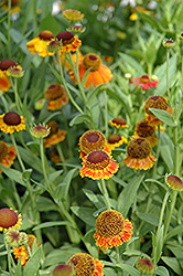 Mardi Gras Sneezeweed (Helenium 'Mardi Gras') at Jolly Lane Greenhouse