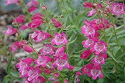 Red Rocks Beard Tongue (Penstemon x mexicali 'Red Rocks') at Jolly Lane Greenhouse