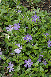 Common Periwinkle (Vinca minor) at Jolly Lane Greenhouse