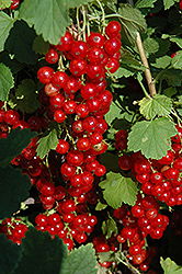 Red Lake Red Currant (Ribes sativum 'Red Lake') at Jolly Lane Greenhouse