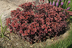 Purple Emperor Stonecrop (Sedum 'Purple Emperor') at Jolly Lane Greenhouse