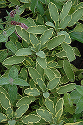 Icterina Golden Sage (Salvia officinalis 'Icterina') at Jolly Lane Greenhouse