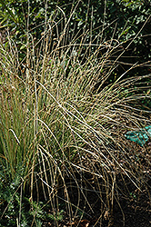 Blue Arrows Rush (Juncus inflexus 'Blue Arrows') at Jolly Lane Greenhouse