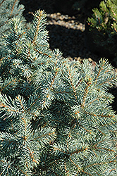 Sester Dwarf Blue Spruce (Picea pungens 'Sester Dwarf') at Jolly Lane Greenhouse