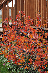 Autumn Magic Black Chokeberry (Aronia melanocarpa 'Autumn Magic') at Jolly Lane Greenhouse