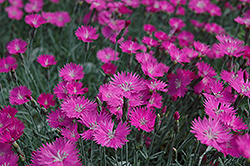 Firewitch Pinks (Dianthus gratianopolitanus 'Firewitch') at Jolly Lane Greenhouse