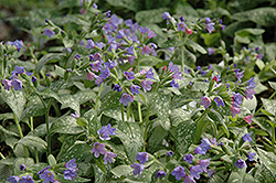 Majeste Lungwort (Pulmonaria 'Majeste') at Jolly Lane Greenhouse
