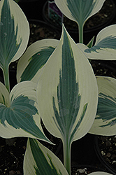 Blue Ivory Hosta (Hosta 'Blue Ivory') at Jolly Lane Greenhouse