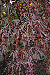 Tamukeyama Japanese Maple (Acer palmatum 'Tamukeyama') at Jolly Lane Greenhouse
