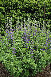 Blue Wild Indigo (Baptisia australis) at Jolly Lane Greenhouse