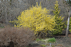 Northern Gold Forsythia (Forsythia 'Northern Gold') at Jolly Lane Greenhouse