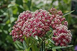 Cinderella Milkweed (Asclepias incarnata 'Cinderella') at Jolly Lane Greenhouse