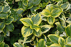 Gold Prince Wintercreeper (Euonymus fortunei 'Gold Prince') at Jolly Lane Greenhouse
