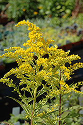 Golden Baby Goldenrod (Solidago canadensis 'Golden Baby') at Jolly Lane Greenhouse