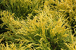 Golden Mop Falsecypress (Chamaecyparis pisifera 'Golden Mop') at Jolly Lane Greenhouse