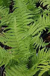 The King Ostrich Fern (Matteuccia 'The King') at Jolly Lane Greenhouse