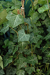Thorndale Ivy (Hedera helix 'Thorndale') at Jolly Lane Greenhouse