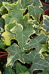 Yellow Ripple Ivy (Hedera helix 'Yellow Ripple') at Jolly Lane Greenhouse