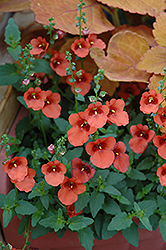 Juliet Orange Twinspur (Diascia 'Juliet Orange') at Jolly Lane Greenhouse