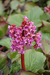 Heartleaf Bergenia (Bergenia cordifolia) at Jolly Lane Greenhouse
