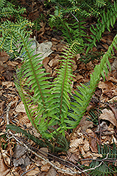 Deer Fern (Blechnum spicant) at Jolly Lane Greenhouse