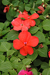Super Elfin® Salmon Impatiens (Impatiens walleriana 'Super Elfin Salmon') at Jolly Lane Greenhouse