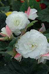 Nonstop® Appleblossom Begonia (Begonia 'Nonstop Appleblossom') at Jolly Lane Greenhouse